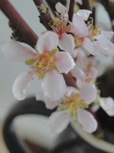 almond blossom 1