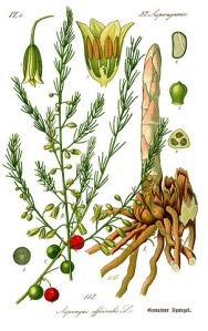 302px-Illustration_Asparagus_officinalis0b