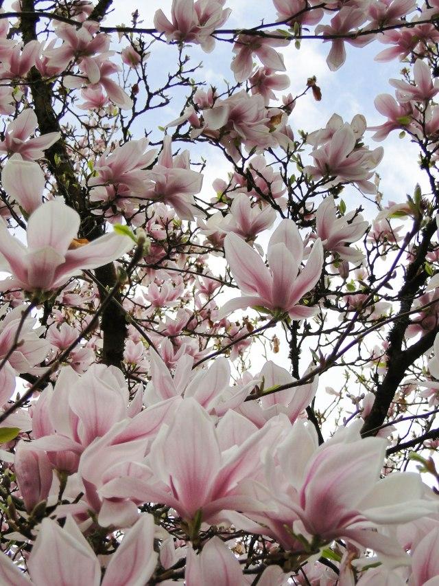 magnolia 12-2
