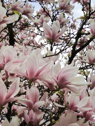 magnolia 13-2
