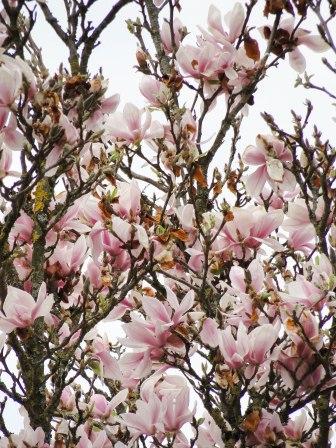 magnolia 17-2