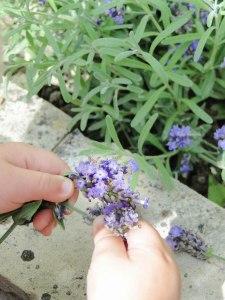 lavender hands