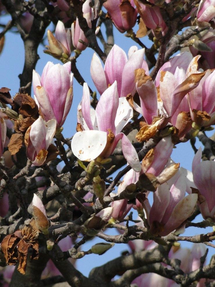 magnolia-12