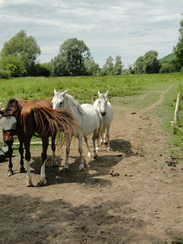 campagne horses-2